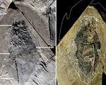 Phát hiện hàng trăm hóa thạch sinh vật biển có đầu như tàu vũ trụ