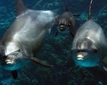 Vi khuẩn kháng kháng sinh đe dọa cá heo tự nhiên