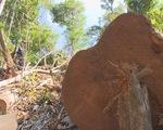 Phát hiện thêm hàng trăm khối gỗ khi mở rộng điều tra vụ phá rừng