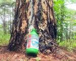 Lại hàng ngàn cây thông bị đổ hóa chất đầu độc