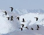 Loài chim duy nhất có thể bay qua đỉnh Everest