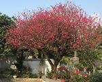 """Ngắm cây đào """"siêu to khổng lồ"""" ở Bắc Giang nở đầy hoa đỏ rực"""