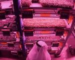 Dubai trồng rau, nuôi bò sữa, cá hồi giữa vùng sa mạc đầy nắng gió