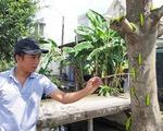 Nhiều cây bàng xanh trơ trụi chỉ sau một đêm vì bị sâu ăn lá