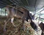 Bàn giao đàn bò tót lai ốm đói cho Vườn quốc gia Phước Bình
