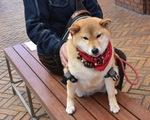 Chó Rin - giống Shiba Inu - kiên nhẫn ngồi chờ chủ 'đốn tim' khách qua đường