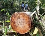 Cây rừng bị cưa hằng ngày, kiểm lâm nói đang đi đếm để... báo cáo lên trên