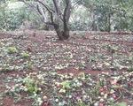 Mưa đá to bằng ngón chân cái khiến vườn mận ở Sơn La rụng tả tơi