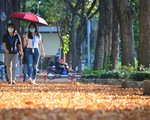 Có một mùa hoa chò lặng lẽ bay bay giữa Sài Gòn