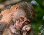 Nhói lòng những con khỉ què quặt, bị thương lòi xương ở Sơn Trà