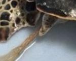 Video: cứu rùa biển nuốt phải nilông dài 30cm