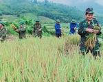Bạn trẻ đội nắng hè xuống đồng giúp dân gặt lúa