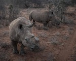 Cưa bỏ sừng để... cứu tê giác