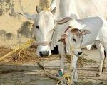 Sau voi, tới lượt bò mang thai trọng thương vì ăn phải bột mì trộn thuốc nổ