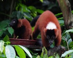Ca song sinh vượn cáo lông đỏ cổ khoang quý hiếm tại Singapore