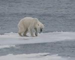 Gấu trắng Bắc cực có nguy cơ tuyệt chủng do biến đổi khí hậu