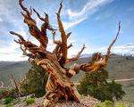 Nhiều cây sống ngàn năm, liệu có cây nào bất tử?