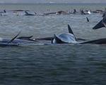 Video: Úc giải cứu 270 con cá voi hoa tiêu mắc cạn ở đảo Tasmania