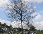 TP.HCM: Sâu ăn lá khiến hàng loạt cây xanh trơ trụi chỉ sau một đêm