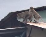 Xuất hiện đàn khỉ hơn chục con