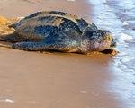 Ấp nở thành công loài rùa biển lớn nhất thế giới tại Ecuador