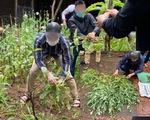 Trồng hơn 300 cây thuốc phiện giữa lòng Hà Nội