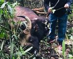 Bò tót đực nặng 700kg chết trong khu bảo tồn, xương và đầu giữ làm tiêu bản
