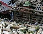 Thanh Hóa: Cá trên sông Mã chết hàng loạt không phải do dịch bệnh