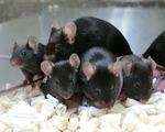 168 chuột con