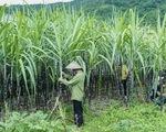 5 quốc gia bị Việt Nam điều tra lẩn tránh thuế sản phẩm đường mía