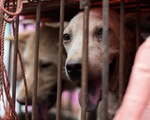 Người Trung Quốc lại tranh cãi về lễ hội thịt chó lớn nhất nước