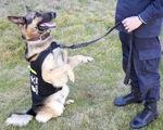 Trung Quốc bán đấu giá chó 'thi rớt' đại học cảnh sát