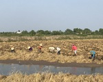 Đề xuất cứu lúa gạo miền Tây bằng
