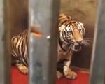 Người dân nuôi cả chục con hổ như... nuôi heo trong nhà như thế nào?