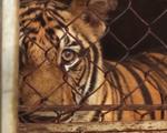 8/17 con hổ nuôi nhốt trong nhà dân Nghệ An được 'giải cứu' đã chết