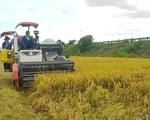 Các tỉnh miền Tây tìm cách khẩn trương gỡ đầu ra cho lúa gạo