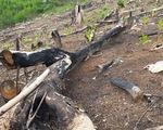 Phá rừng tại Phú Yên: Tỉnh ủy chỉ đạo công an và ủy ban kiểm tra vào cuộc