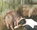 Bình Dương: ba lò giết mổ heo bệnh