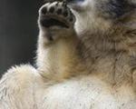 'Ngôi sao' gấu mang lại hàng triệu USD cho vườn thú Đức