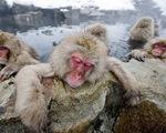 Chùm ảnh khỉ tuyết tắm suối nước nóng
