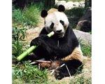 Trung Quốc đòi Nhật bồi thường 500.000 USD vì để gấu trúc chết