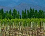 Mendoza - mê hoặc vườn nho, rượu vang