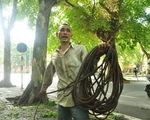 Chùm ảnh 'người nhện' đu dây hái sấu ở Thủ đô