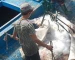 Bắt được cá mặt trăng nặng hơn 500kg