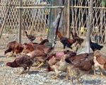 Giăng bẫy điện chống trộm gà, làm chết hàng xóm