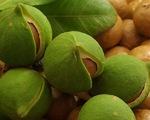 Cây macca - loại cây trồng giàu tiềm năng