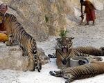 Chùa Cọp Thái Lan dính nghi án mua bán động vật hoang dã