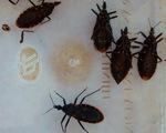 Ninh Thuận xuất hiện bọ xít hút máu