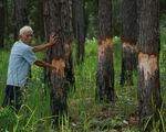 Thêm 111 cây thông 24 năm tuổi bị đốn hạ