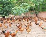 Hưng Yên đầu tư hơn 10 tỷ đồng chăn nuôi gia cầm theo VietGAHP